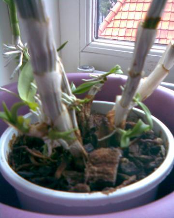 orchidee ??