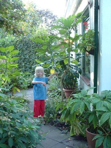 Brugmansia 10 jaar in pot