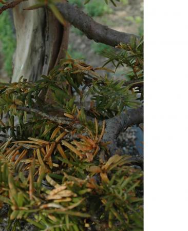 bonsai naalden worden geel