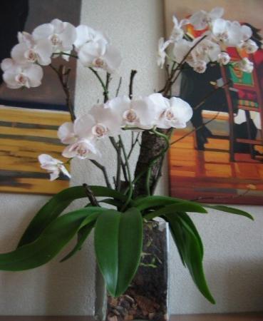 blije Phalaenopsis :-)