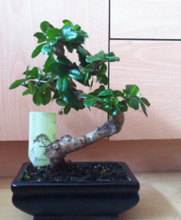 Leeftijd bonsai en is het wel een bonsai?