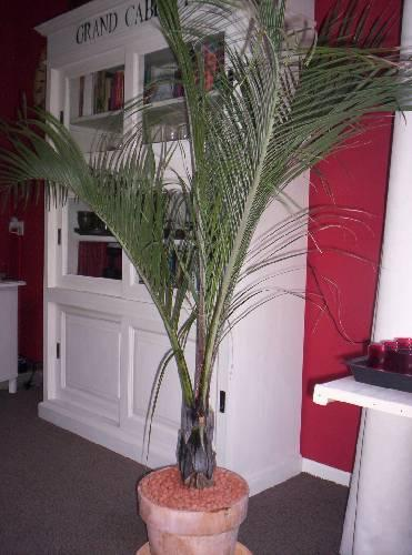 Dypsis Decaryi - exclusieve palm
