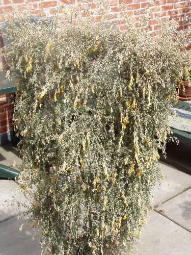 Informatie gevraagd - citroengeurende plant