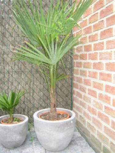 Welke soort winterharde palm?