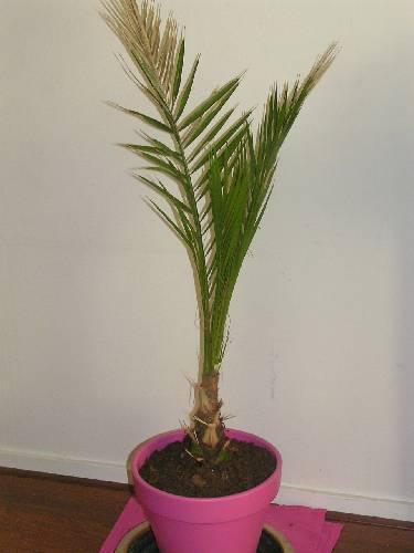 palmsoort