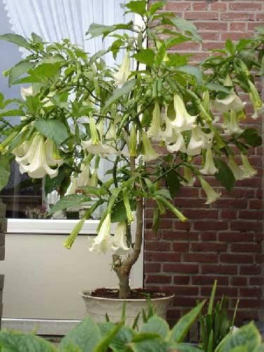 Foto en (superthrive) voeding brugmansia.