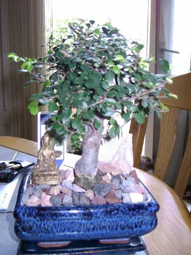 vragen over mijn bonsai (help me please)
