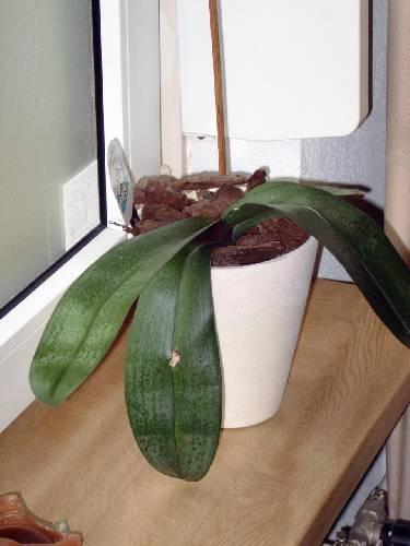 Phalaenopsis orgideeen