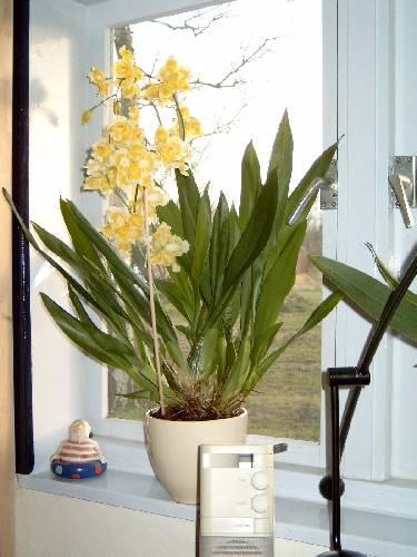 Nog een vraagje over een oudere Orchidee van me