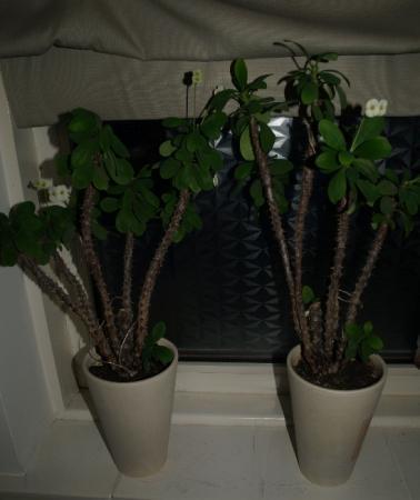 wie weet welk soort cactus/vetplant dit is?