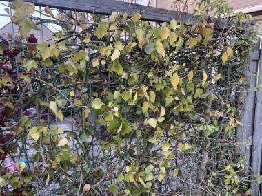 dit de oude hedra waar spint of een beestje heb gezeten die olie achtige vlekken op het blad achter laat en uit eindelijk het blad eraf valt