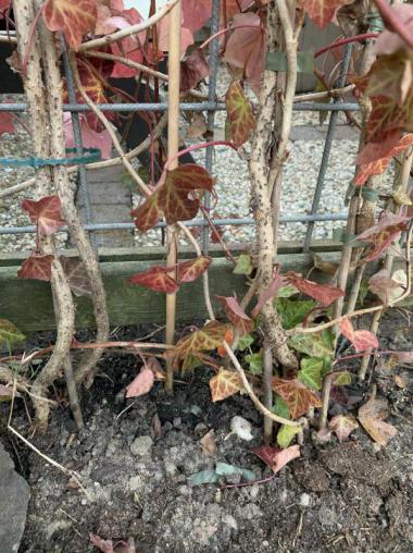 De wortels van de nieuwe hedra die 2,5 jaar geleden geplaatst zijn.