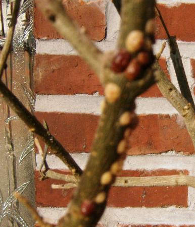 Zieke olijfboom