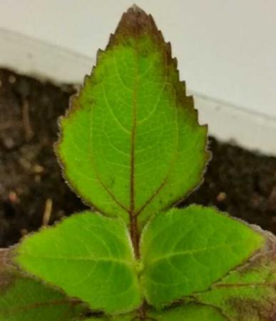 Vleesetende plant; welke plant is het?