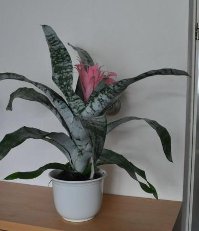Plant, groen blad, licht-rode bloem, naam?