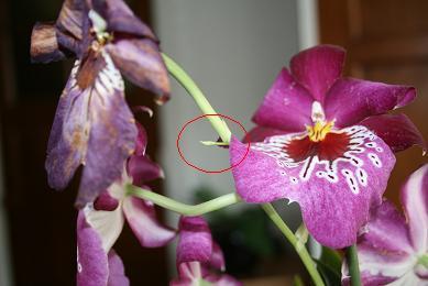 Verwelkte bloemen Miltonia
