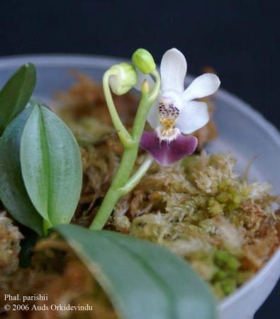 Kleine phalaenopsis