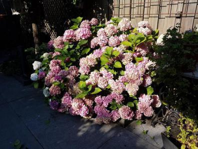 min hortensia volop in bloei zomer 2018