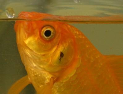 vervolg: welke ziekte heeft mijn vis?