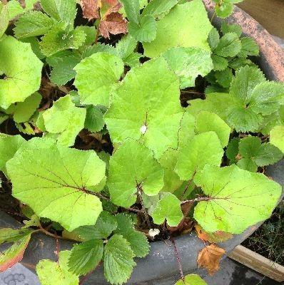 Plant bij aardbeienplantjes