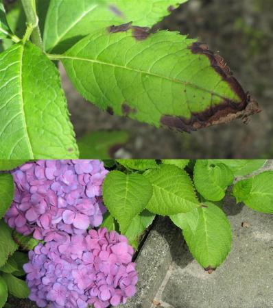 Hortensia met bruine punten aan blad