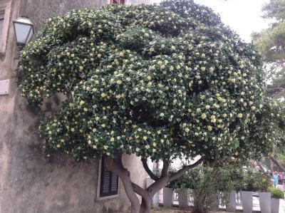 Welke boom / heester is dit? gezien in Kroatië