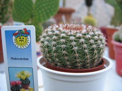 notocactus copa