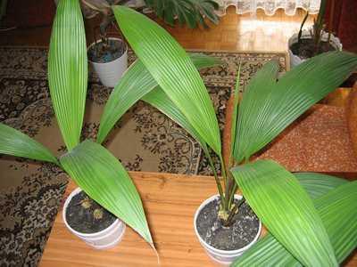 Wat is het ? Palm of geen palm