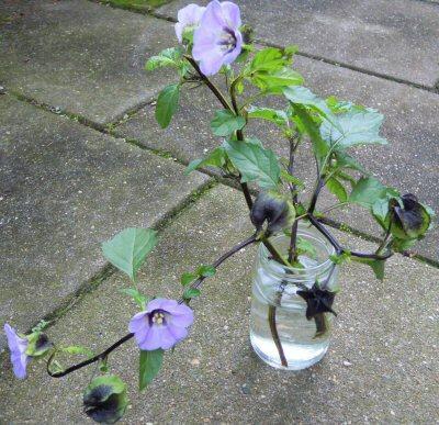 Welke plant is dit met lila-blauwe bloemen?