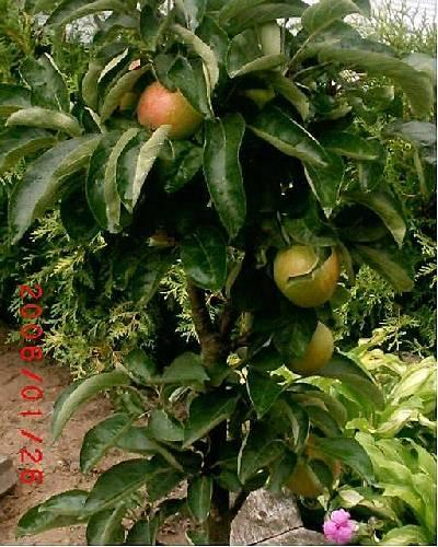wie herkent dit appelboompje?