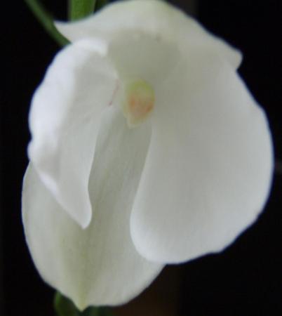 Phaelanopsis rare bloem er ontbreekt iets