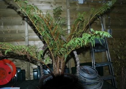 Cyathea villosum