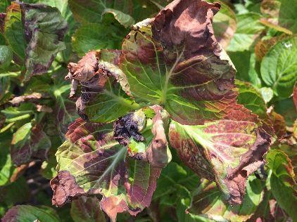 Hortensia kleur bladeren