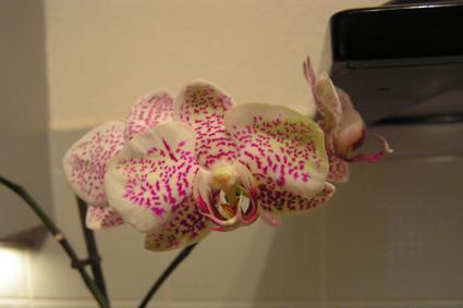 Kleurverschil bloem phalaenopsis...
