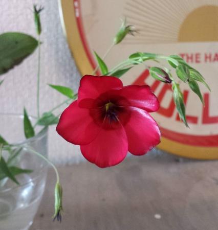 Donkerrood wild bloempje