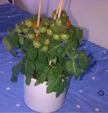 Eerste x Cherry tomaten