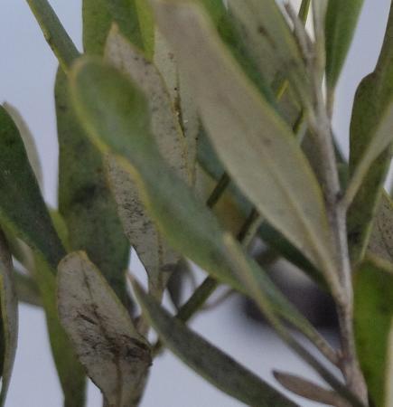 zwarte aanslag op olijfplant