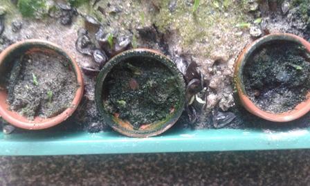 zaailingen amaryllis( Hippeastrum ) /kerstcactus