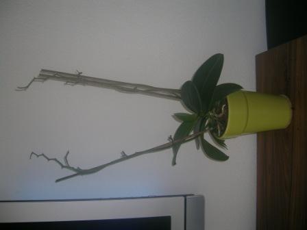 Komt mijn orchidee nog in bloei.