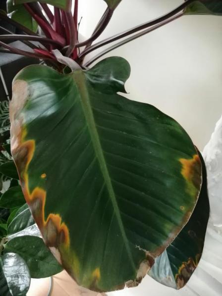 2 bladeren van de plant vertonen sinds 1 week vergeelde randen