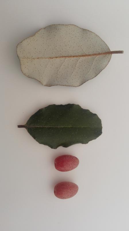 Heester met blad en bes, naam, eetbaar?