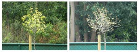 Quercus 'Green Dwarf' Probleem