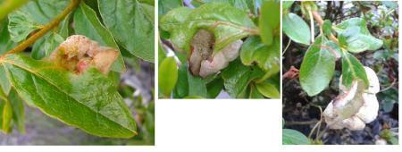 Wat zijn de witte schelpen in de rhododendron?