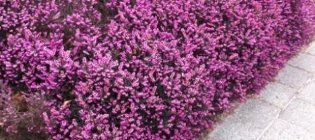 Identificatie paarse struik