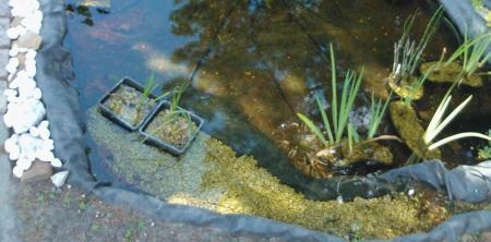 Blauwe iris groeit niet