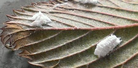 Wit spul op plant