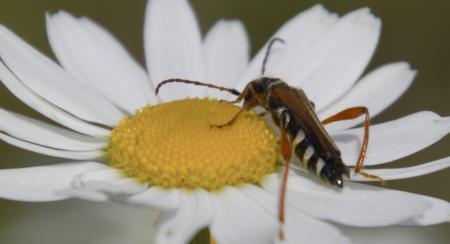 Wie weet welk insect dit is?