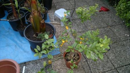 citrusplant ( mandarijn) snoeien