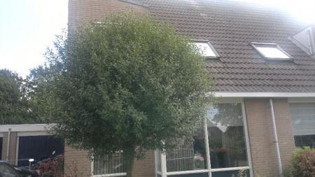 Wat is dit voor boom? wanneer kan ik deze snoeien?
