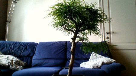 Welke soort bonsai